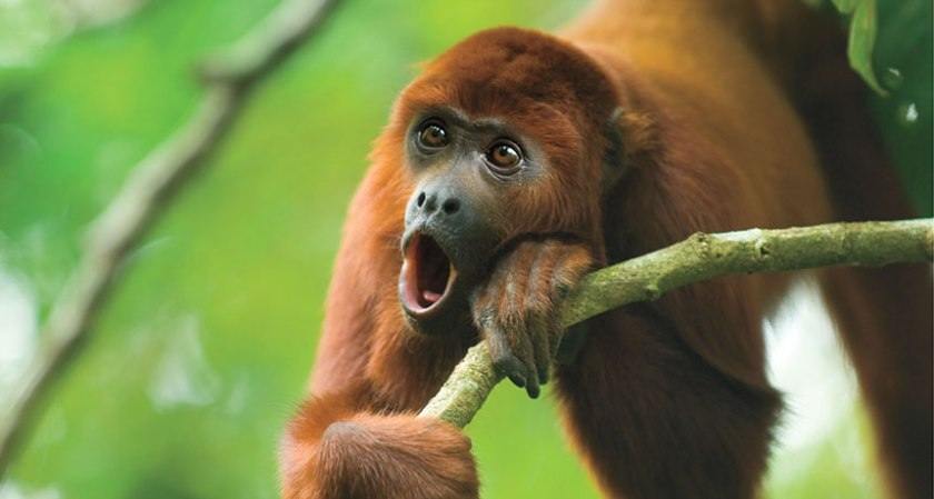howler-monkey-02